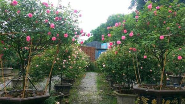 Vườn hồng vài nghìn gốc siêu quý 3000m2 của hot girl 8x Thái Nguyên-8