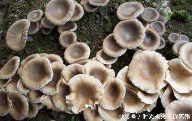 Loài mọc hoang ở vùng quê nhưng giá gần 7 triệu/kg-2