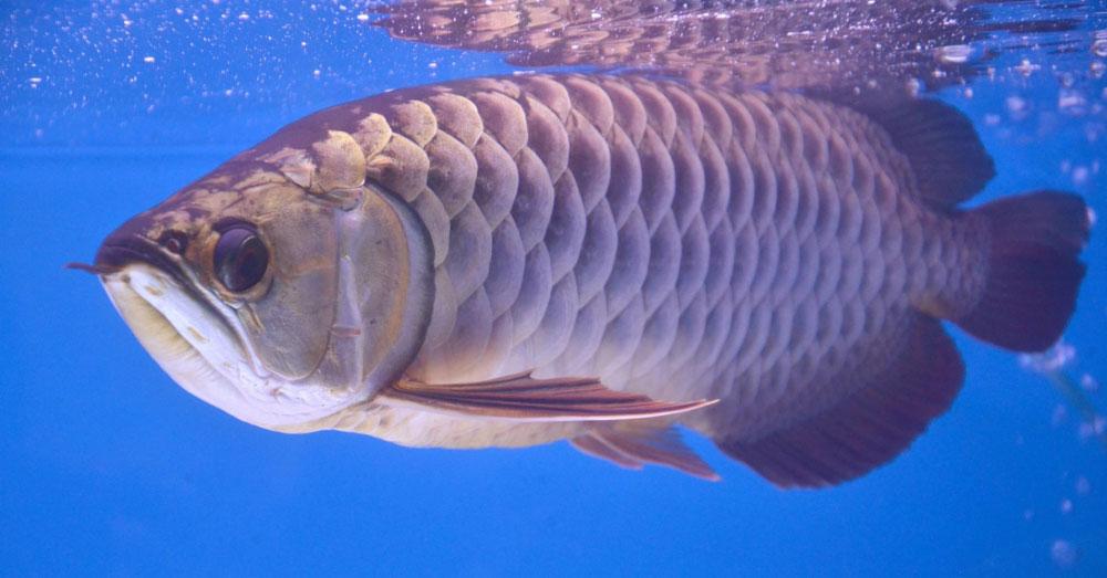 Cá rồng châu Á và chuyện ly kỳ báo trước hiểm họa khiến giới siêu giàu chi tiền tỷ săn lùng-1