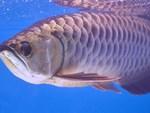 Vì sao cá rồng bạch kim có giá 9 tỷ đồng, đắt nhất thế giới?-3