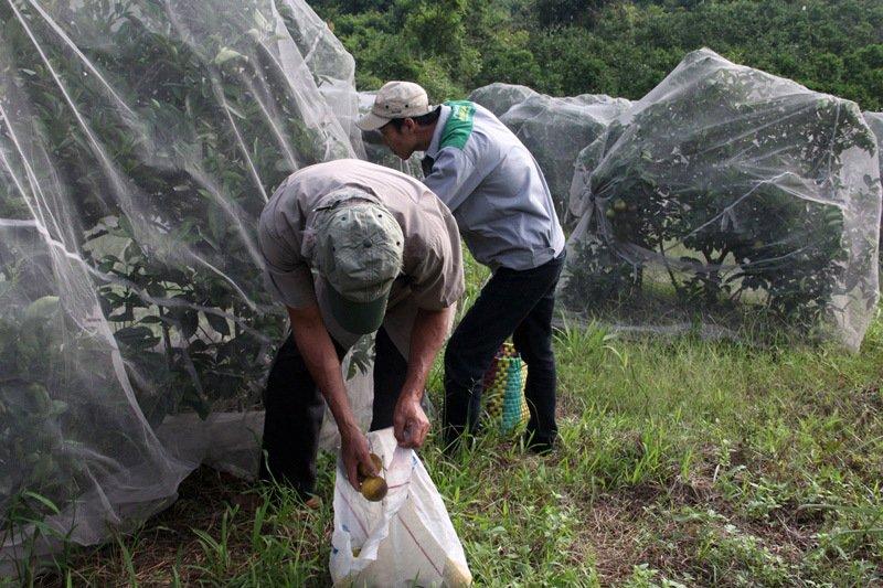 Chuyện lạ: Vườn cây chục tỷ đồng được mắc màn bảo vệ giữa rừng sâu-12