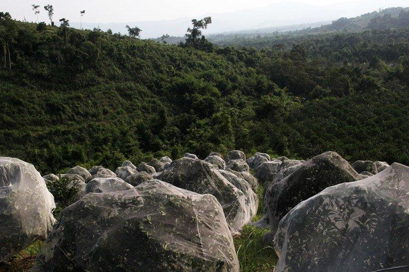 Chuyện lạ: Vườn cây chục tỷ đồng được mắc màn bảo vệ giữa rừng sâu-2