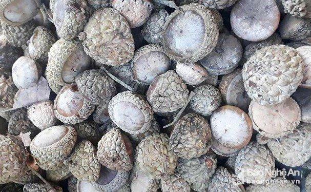 Trái dại ở rừng ngon khó cưỡng, muốn ăn phải dùng búa-3