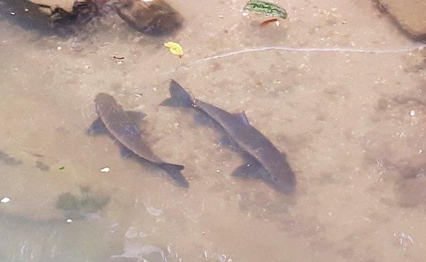 Lần theo loài cá lạ quý như vàng dưới chân núi Hoàng Liên-1