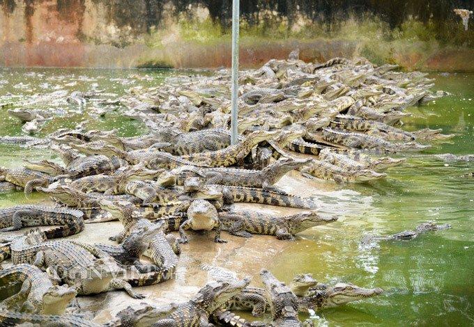 Bí mật trong trại hàng vạn con cá sấu của ông trùm tỷ phú miền Tây-1