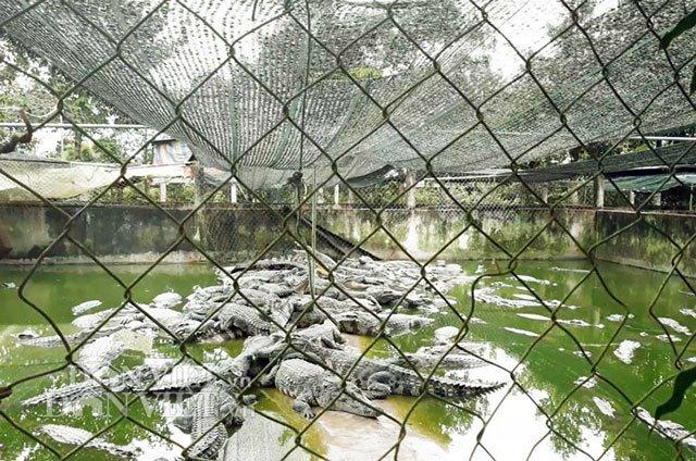 Bí mật trong trại hàng vạn con cá sấu của ông trùm tỷ phú miền Tây-2
