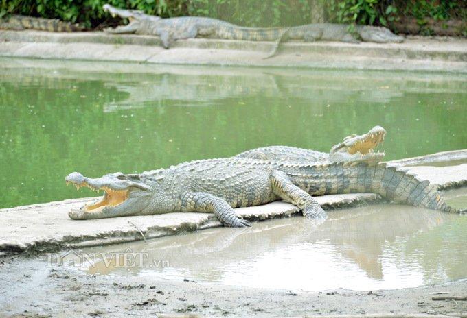 Bí mật trong trại hàng vạn con cá sấu của ông trùm tỷ phú miền Tây-4