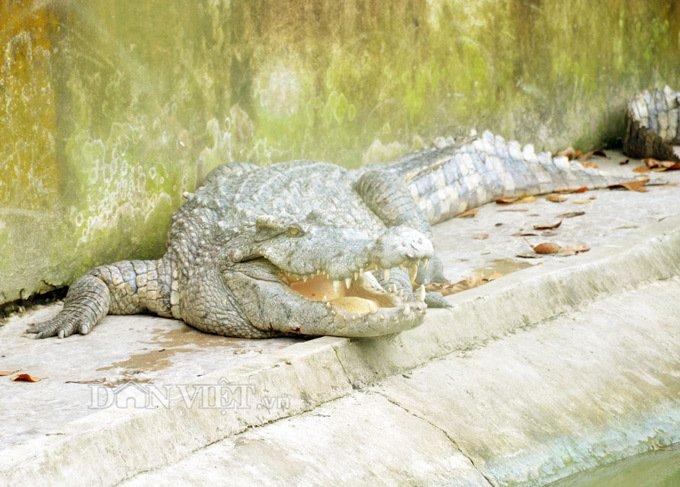 Bí mật trong trại hàng vạn con cá sấu của ông trùm tỷ phú miền Tây-6