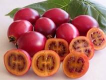 Xôn xao loại cà chua lạ có giá nửa triệu 1 kg