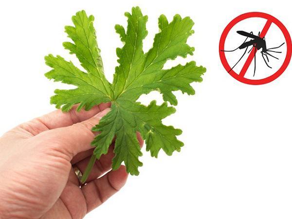 Biết những mẹo đuổi muỗi cực hay này, bạn khỏi lo mắc sốt xuất huyết-1