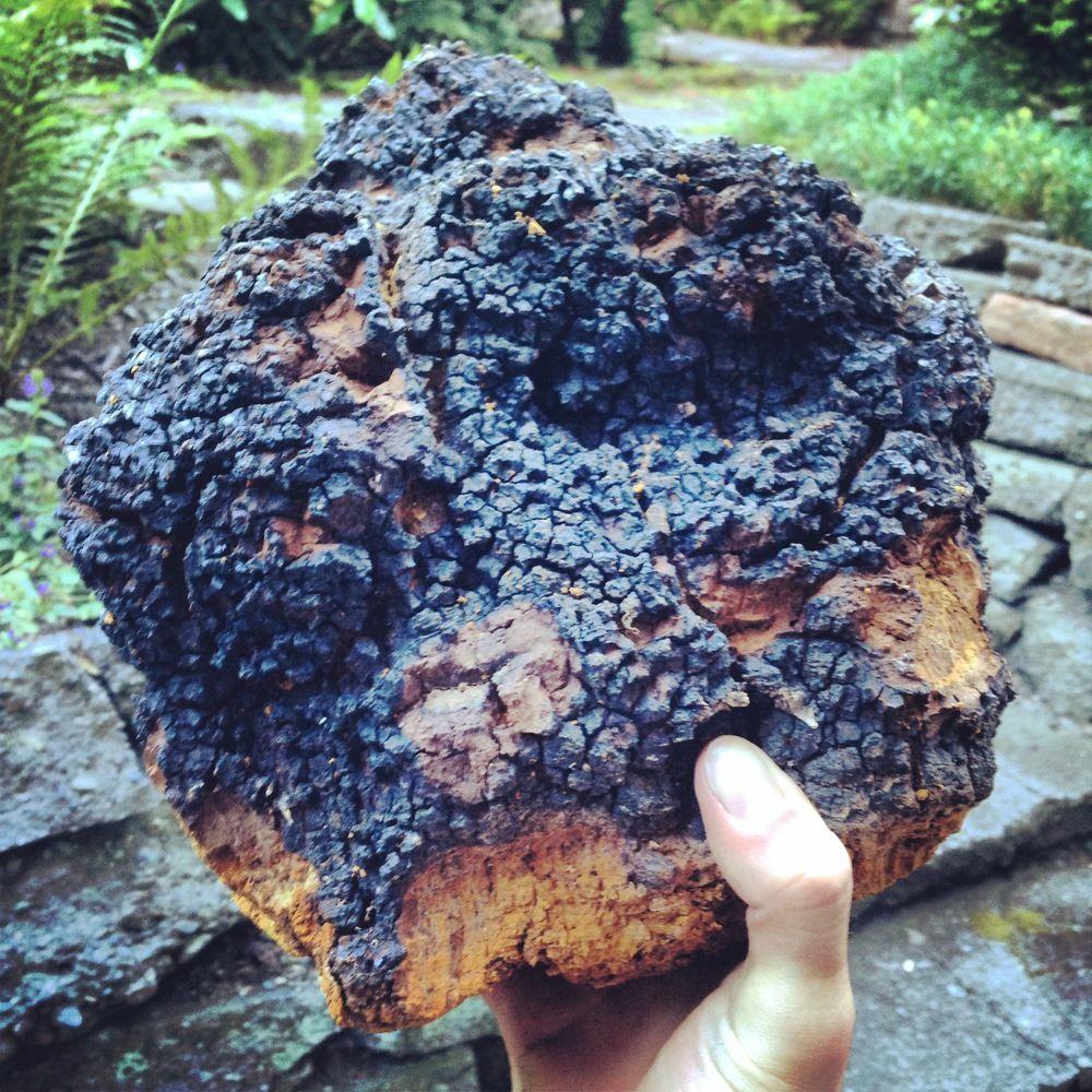 Loại nấm lạ, giống cục than cháy sém, nhưng lại là 'thần dược' chữa ung thư, ngừa lão hóa-4