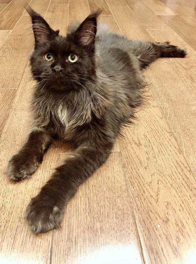 Vợ chồng Trấn Thành và chuyện gây cười về con mèo ngoại giá 3000 USD bị cạo trụi lông-3