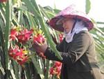 Hơn 100.000 tấn thanh long ế, Bình Thuận thiệt hại bao nhiêu?-3
