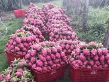 Hơn 100.000 tấn thanh long ế, Bình Thuận thiệt hại bao nhiêu?