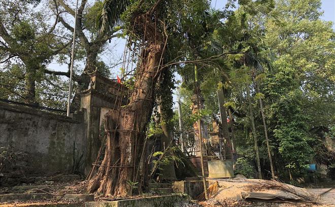 Ly kỳ quanh cây sưa trăm tỷ ở Hà Nội sắp được bán: Tờ giấy đe dọa ném vào nhà dân-1