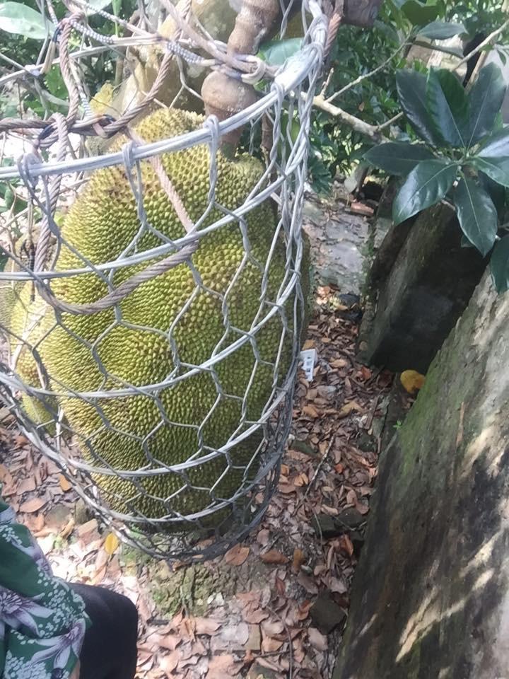 Vườn mít cuối mùa trĩu trịt, có quả nặng gần 40kg phải nhốt vào rọ như chú lợn con, ai nhìn cũng phải thèm thuồng-3