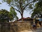 Chuyện ít biết về cụ sưa 7 đời khủng nhất Việt Nam-5