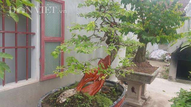 Cụ hoa giấy dáng siêu phàm, còi dí mà giá hơn 100 triệu đồng ở Nam Định-4
