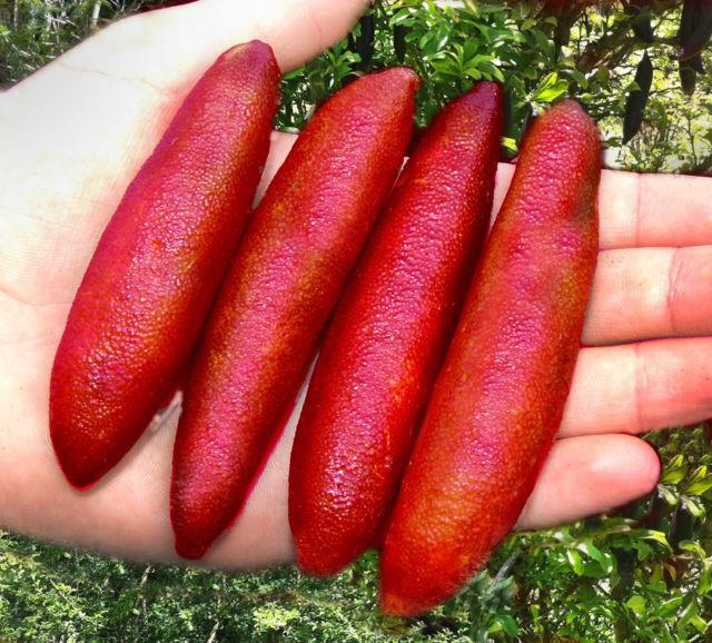 Chanh ngón tay có hương vị lạ giá 3,5 triệu đồng/kg-2