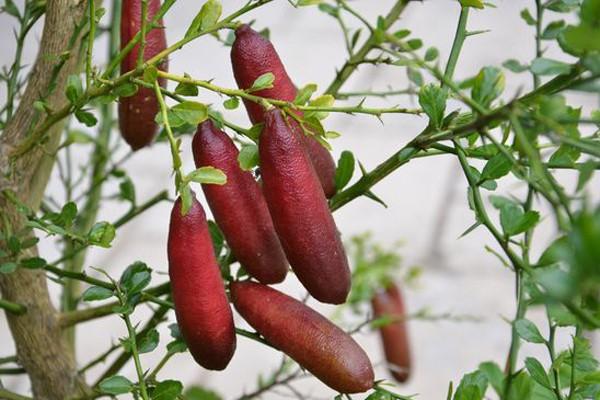Chanh ngón tay có hương vị lạ giá 3,5 triệu đồng/kg-3