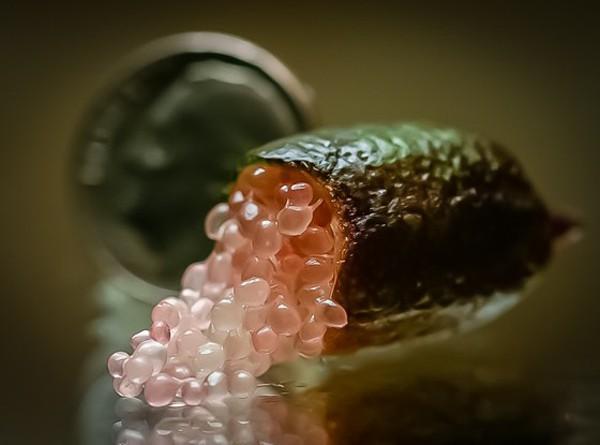 Chanh ngón tay có hương vị lạ giá 3,5 triệu đồng/kg-7