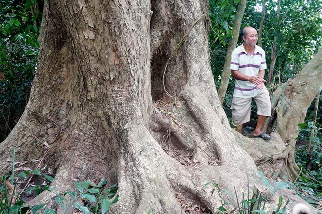 Chuyện ít biết về cụ sưa 7 đời khủng nhất Việt Nam-4