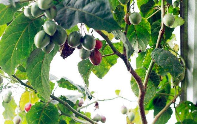 Cà chua độc lạ giá 1 triệu đồng/kg một thời giờ ra sao?-2
