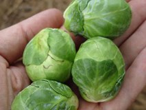 Lạ lùng bắp cải tí hon hơn 300 nghìn đồng/kg được săn từ Pháp