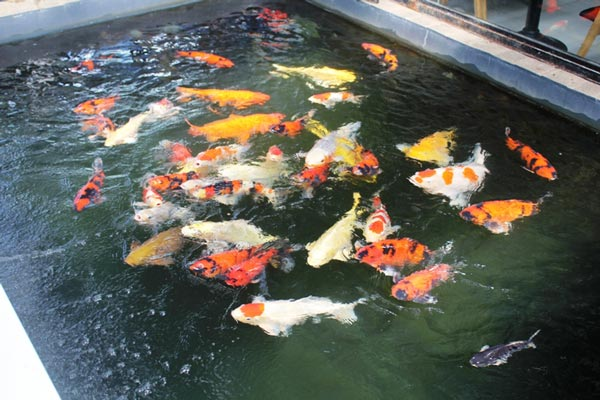 Hơn 300 chú cá quốc ngư xứ Mặt Trời mọc đẹp mê hồn của trai phố núi-1
