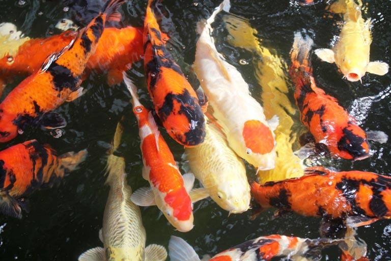 Hơn 300 chú cá quốc ngư xứ Mặt Trời mọc đẹp mê hồn của trai phố núi-2