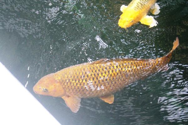 Hơn 300 chú cá quốc ngư xứ Mặt Trời mọc đẹp mê hồn của trai phố núi-6