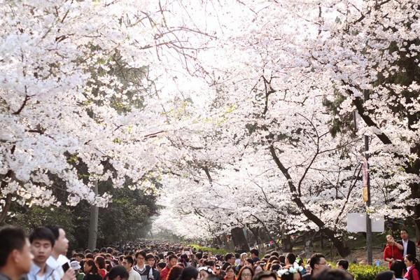 Mê mệt với vẻ đẹp tựa tranh vẽ của ngôi trường được mệnh danh là Đại học hoa anh đào ở Trung Quốc-4
