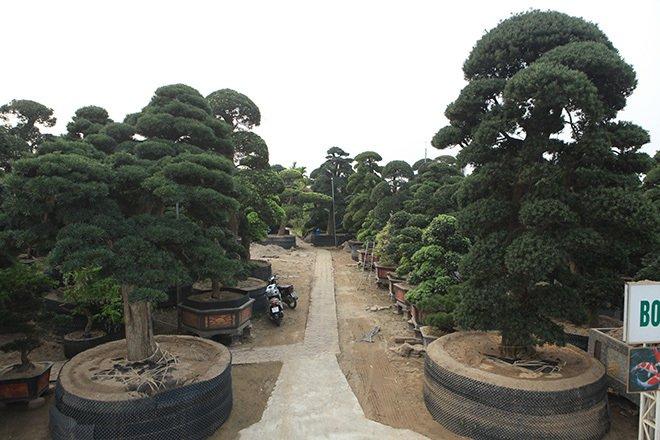 Vườn tùng la hán Nhật nghìn tỷ ở Hà Nội: Mỗi cây giá cả tỷ đồng-1