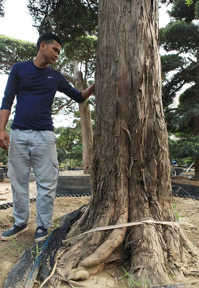 Vườn tùng la hán Nhật nghìn tỷ ở Hà Nội: Mỗi cây giá cả tỷ đồng-12