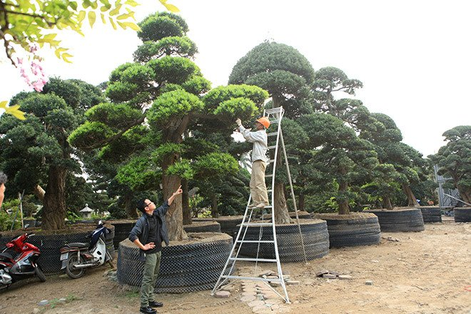 Vườn tùng la hán Nhật nghìn tỷ ở Hà Nội: Mỗi cây giá cả tỷ đồng-14