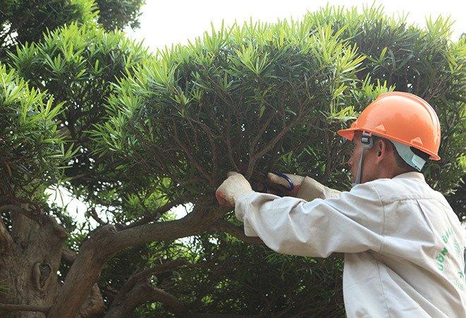 Vườn tùng la hán Nhật nghìn tỷ ở Hà Nội: Mỗi cây giá cả tỷ đồng-15