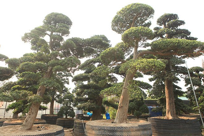 Vườn tùng la hán Nhật nghìn tỷ ở Hà Nội: Mỗi cây giá cả tỷ đồng-16