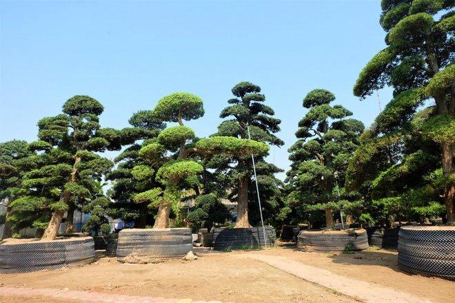 Vườn tùng la hán Nhật nghìn tỷ ở Hà Nội: Mỗi cây giá cả tỷ đồng-2