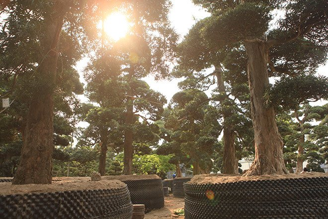 Vườn tùng la hán Nhật nghìn tỷ ở Hà Nội: Mỗi cây giá cả tỷ đồng-3