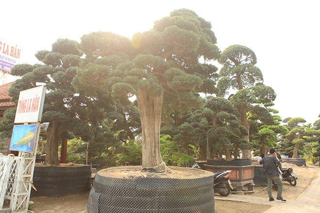 Vườn tùng la hán Nhật nghìn tỷ ở Hà Nội: Mỗi cây giá cả tỷ đồng-5
