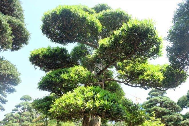 Vườn tùng la hán Nhật nghìn tỷ ở Hà Nội: Mỗi cây giá cả tỷ đồng-7