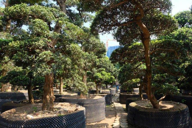 Vườn tùng la hán Nhật nghìn tỷ ở Hà Nội: Mỗi cây giá cả tỷ đồng-8