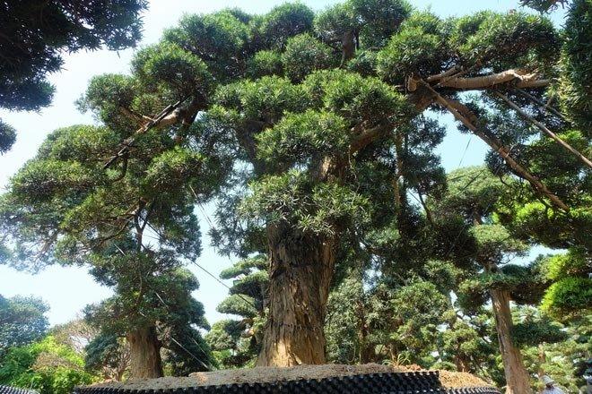 Vườn tùng la hán Nhật nghìn tỷ ở Hà Nội: Mỗi cây giá cả tỷ đồng-9