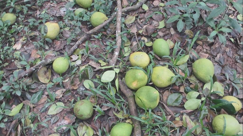 Bưởi Năm Roi rụng trắng gốc, nông dân khóc ròng bán 1.000 đồng/kg-1