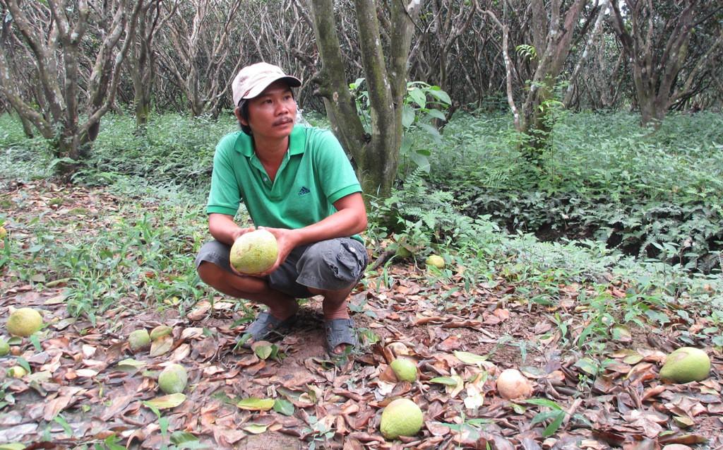 Bưởi Năm Roi rụng trắng gốc, nông dân khóc ròng bán 1.000 đồng/kg-3