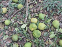 Bưởi Năm Roi rụng trắng gốc, nông dân khóc ròng bán 1.000 đồng/kg
