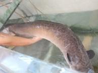 Bắt được cá chình khồng lồ, dài hơn 1,5 mét hiếm có