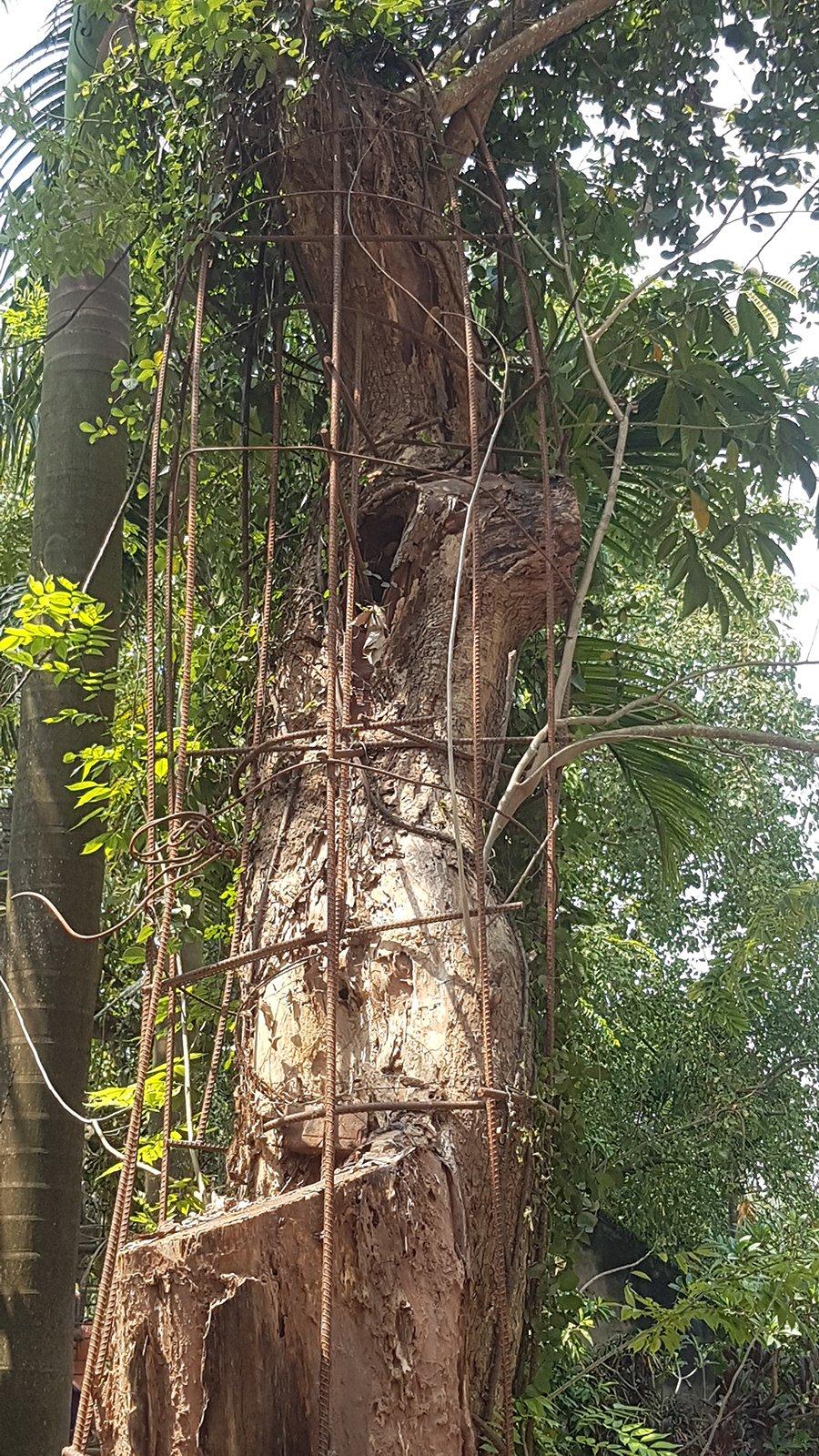Ly kỳ cuộc chiến bảo vệ những gốc cây trị giá cả trăm tỷ đồng của các lão nông Việt-3