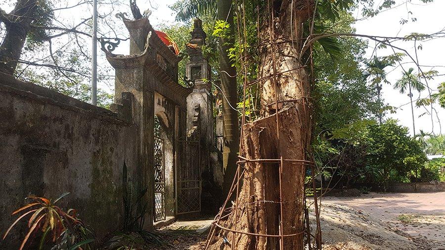 Ly kỳ cuộc chiến bảo vệ những gốc cây trị giá cả trăm tỷ đồng của các lão nông Việt-4