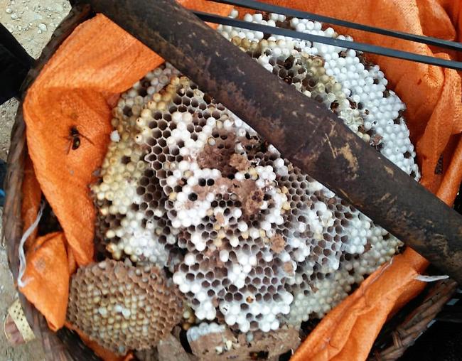 """Đi săn loài ong tử thần"""" vùng sơn cước, kiếm nửa triệu/kg-7"""